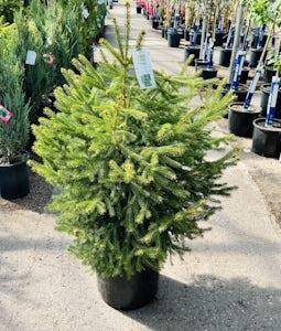 White Spruce 10 Gallon Pot