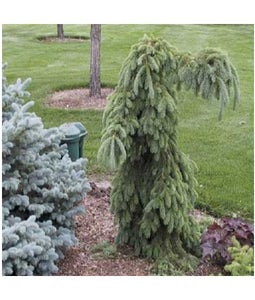 Weeping White Spruce 5 Gallon Pot