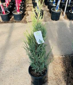 Blue Arrow Juniper 5 Gallon Pot