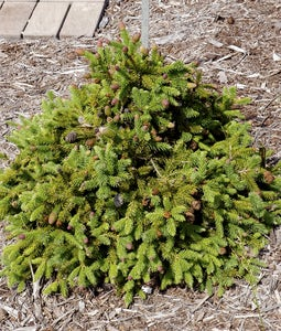 Pusch Spruce 3 Gallon Pot