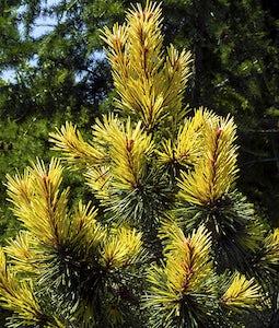 Taylors Sunburst Pine 3 Gallon Pot
