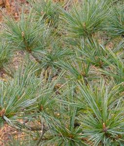 Macopin Pine 3 Gallon Pot