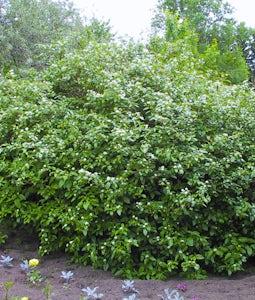 Red Osier Dogwood 10 Gallon Pot