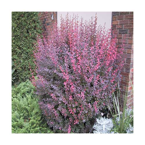 rose glow barberry 10 gallon pot
