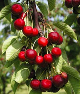 Cupid Cherry 2 Gallon Pot
