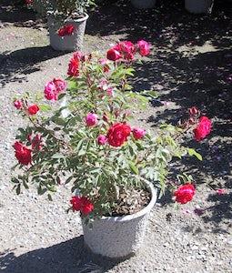 Adelaide Hoodless Rose 2 Gallon Pot