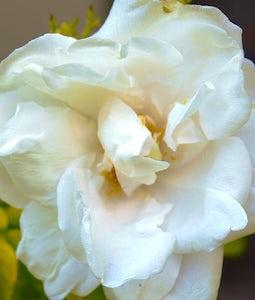 Blanc De Coubert Rose 2 Gallon Pot