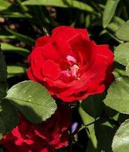 Champlain Rose 2 Gallon Pot