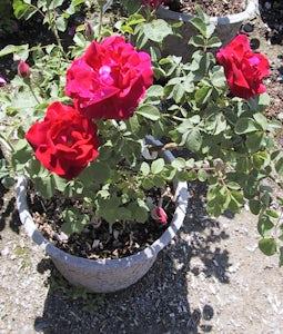 Cuthbert Grant Rose 2 Gallon Pot
