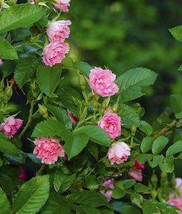 F J Grootendorst Rose 2 Gallon Pot