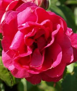 George Vancouver Rose 2 Gallon Pot