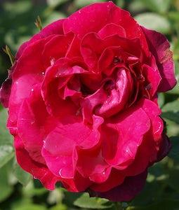 Hunter Rose 2 Gallon Pot