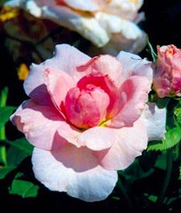 Shrub Rose Lambert Closse 2 Gallon