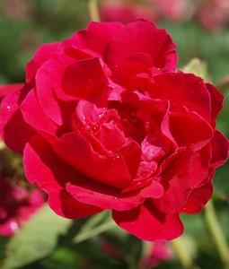 Morden Amorette Rose 2 Gallon Pot