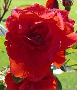Shrub Rose Morden Fireglow 2 Gallon Pot