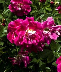 Morden Ruby Rose 2 Gallon Pot