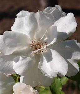 Morden Snowbeauty Rose 2 Gallon Pot