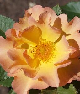 Shrub Rose Morden Sunrise 2 Gallon Pot