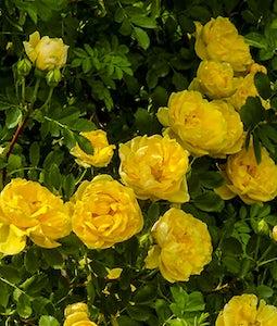 Persian Yellow Shrub Rose 2 Gallon Pot