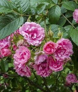 Pink Grootendorst Shrub Rose 2 Gallon Pot