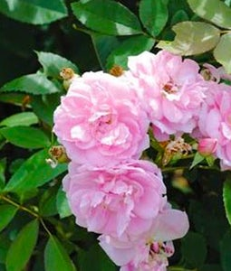 Shrub Rose Prairie Joy 2 Gallon