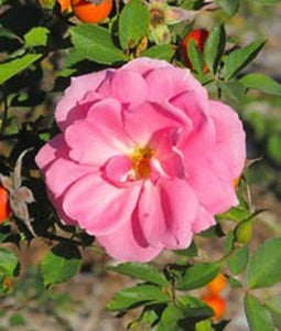 Prairie Princess Shrub Rose 2 Gallon Pot