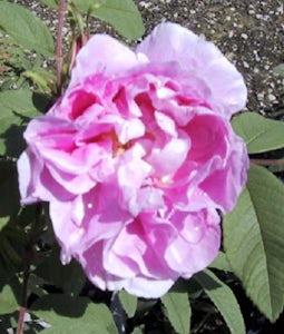 Shrub Rose Theresa Bugnet 2 Gallon Pot