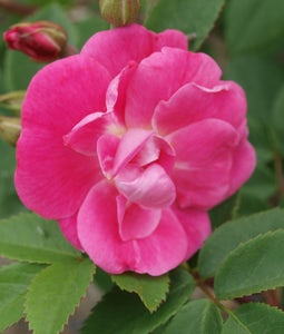 Shrub Rose William Baffin 2 Gallon Pot