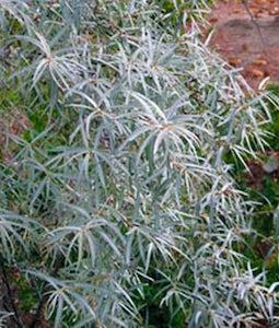 Askola Seaberry 1 Gallon Pot
