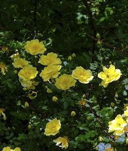 Harrison Yellow Shrub Rose 2 Gallon Pot
