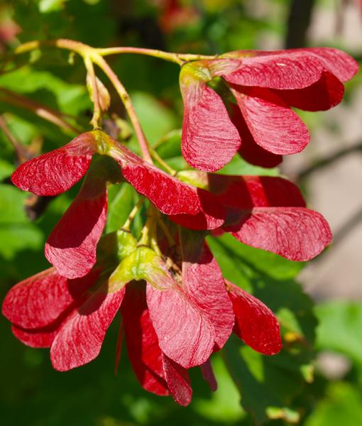 Hot Wings Maple 10 Gallon Pot Golden Acre Home Garden