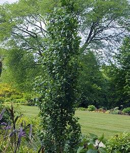 Parkland Pillar Birch 10 Gallon Pot