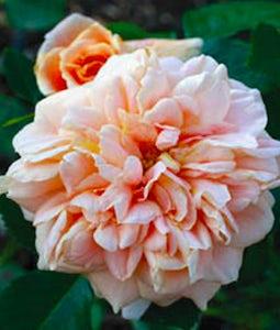 Prairie Sunrise Rose Shrub 2 Gallon Pot