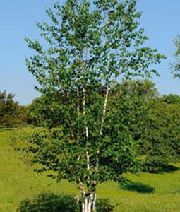 Prairie Dream Birch 10 Gallon Pot