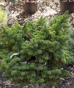 Cesarini Blue Spruce 3 Gallon Pot