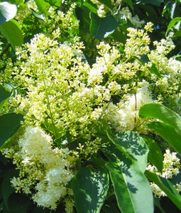 Japanese Ivory Silk Lilac 5 Gallon Pot