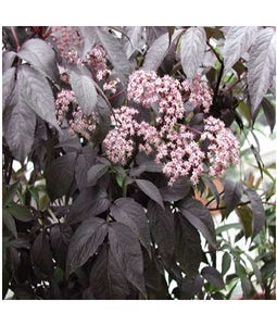 Black Beauty Elderberry 8 Inch Pot