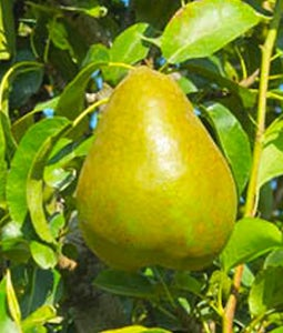 Early Gold Pear 10 Gallon