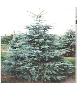 Colorado Spruce 3 Gallon Pot