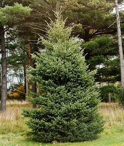 Black Hiis Spruce 2 Gallon Pot