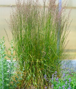 Karl Foerster Feather Reed Grass 15 Cm Pot
