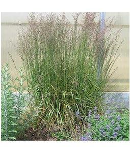 Karl Foerster Feather Reed Grass 5 Gallon Pot