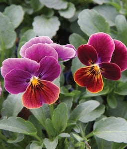 VIOLA-ANTIQUE SHADES-9CM